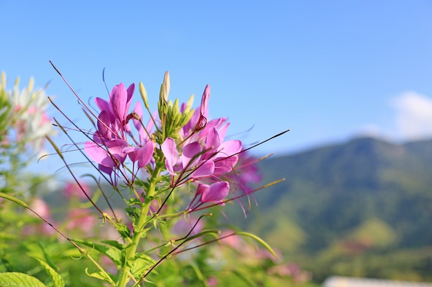 Beautiful purple spider flower(cleome spinosa) in the summer garden with mountain and blue sky.