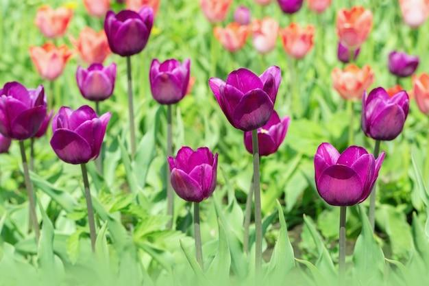 아름 다운 보라색 튤립 필드에 닫습니다.