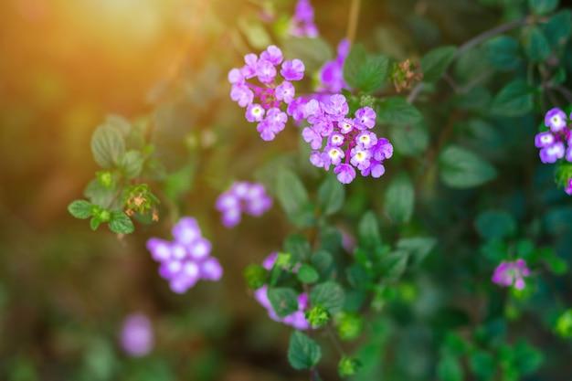 아름다운 보라색 마편초