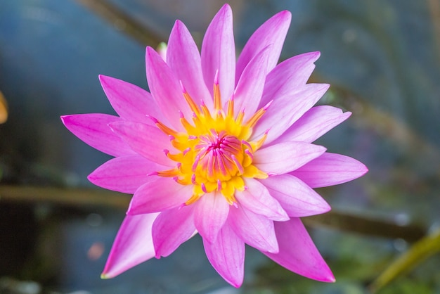 Beautiful purple water lily bloom in the pond