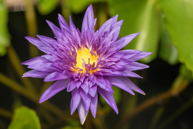 Beautiful purple water lily flower with yellow pollen on white background.