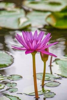 美しい紫の水の蓮の花湖に浮かぶ