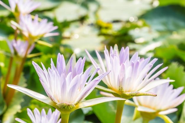 Красивая фиолетовая водяная лилия или цветок лотоса.