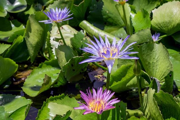 池の美しい紫色のスイレンやハスの花。