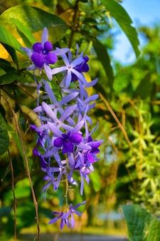Beautiful purple wreath vine or queen's wreath vine flower on blurred background