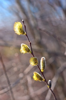 Beautiful pussy willow flowers branches. easter holiday sunday.