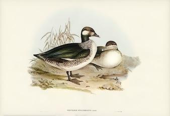 Beautiful Pygmy Goose (Nettapus pulchellus) illustrated by Elizabeth Gould