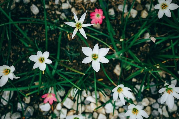 美しい雨の花。 zephyranthes lily、fairy lily、リトルウィッチーズ。 (zephyranthas sp。)
