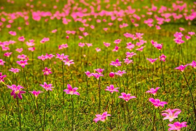 아름다운 비 백합 꽃 zephyranthes 백합 요정 백합 작은 마녀 zephyranthas sp