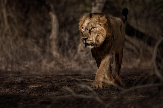 美丽和稀有的亚洲狮子男性在自然栖息地在吉尔国家公园在印度