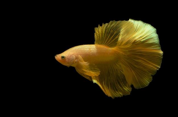 美しい珍しい黄金のベタの魚や黒い背景の戦いの魚