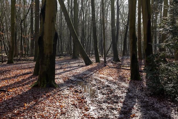 Красивый луч заката в лесу нидерландов