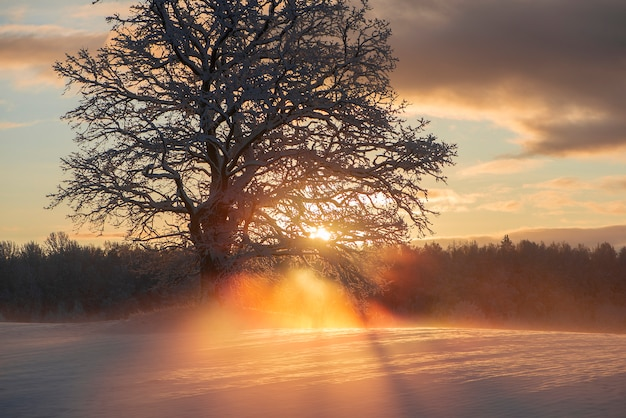 Beautiful rays through the frosty morning oak-trees,winter sunrise view at krimulda,latvia