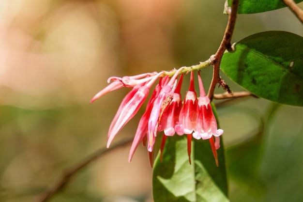 Красивый красный цветок прихода агапетес в природе