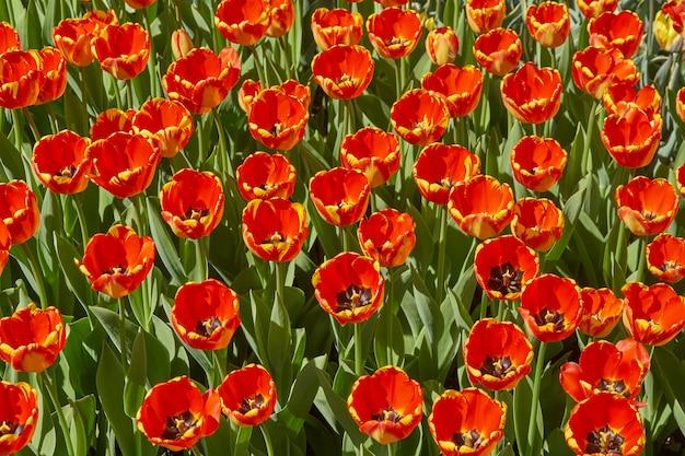 春の庭に咲く美しい赤と黄色のチューリップ。明るい春の風景。