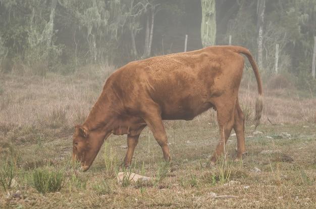 栄養価の高い牧草地を放牧している美しい赤いアンガスの子牛