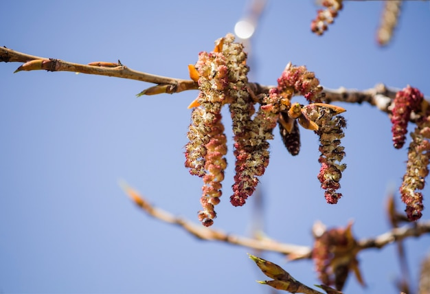 하늘에 대 한 봄 catkins 같은 아름 다운 붉은 아스펜 꽃.