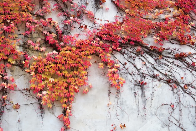 Beautiful red autumn ivy is claiming up.