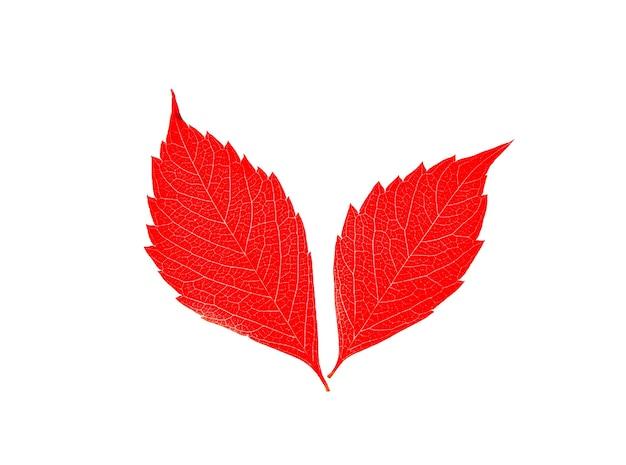 白い背景で隔離の美しい赤い紅葉。季節の写真。