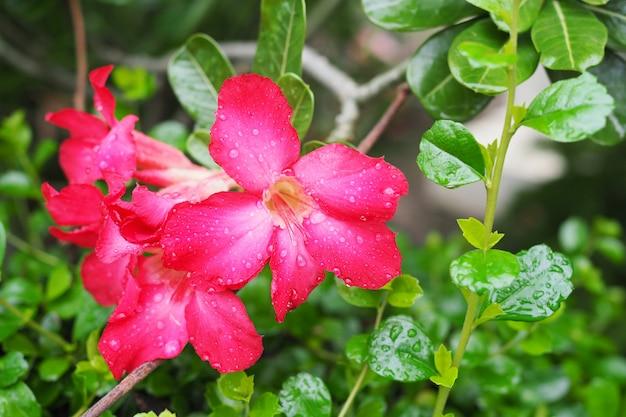 庭の緑の葉の背景を持つ美しい赤いツツジの花自然