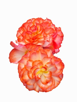 白い背景の上の美しい赤いベゴニアの花の分離。