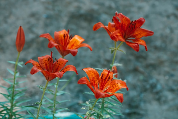 Beautiful red blooming lily in macro