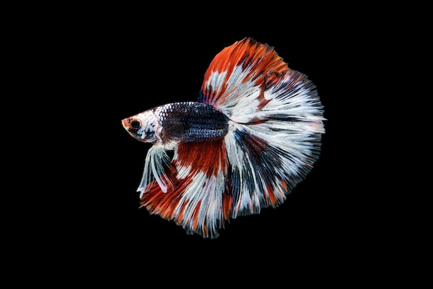 Beautiful red, blue and white betta splendens, the siamese fighting fish commonly known as betta is popular fish in the aquarium trade.