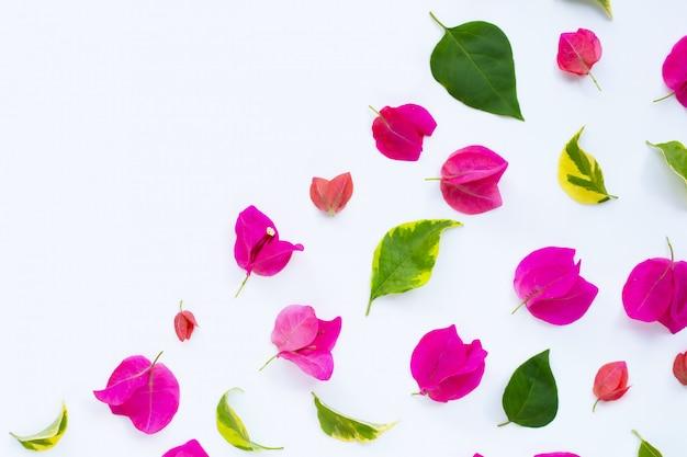 Красивый красный цветок бугинвилии на белом фоне. вид сверху