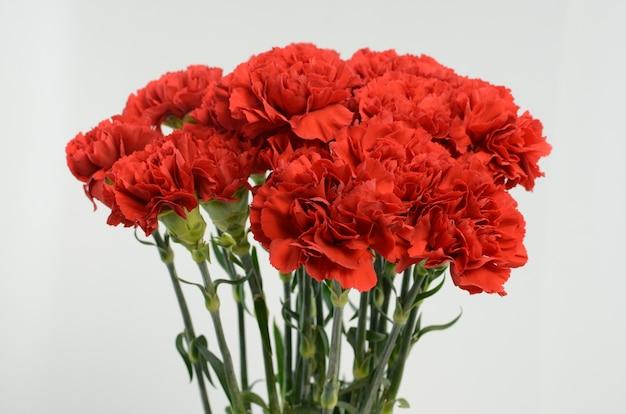 白い背景にある美しい赤いカーネーションの花