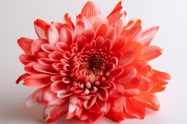 Beautiful red chrysanthemum flower close-up on white background
