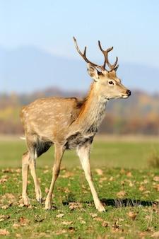 Beautiful red deer in meadow