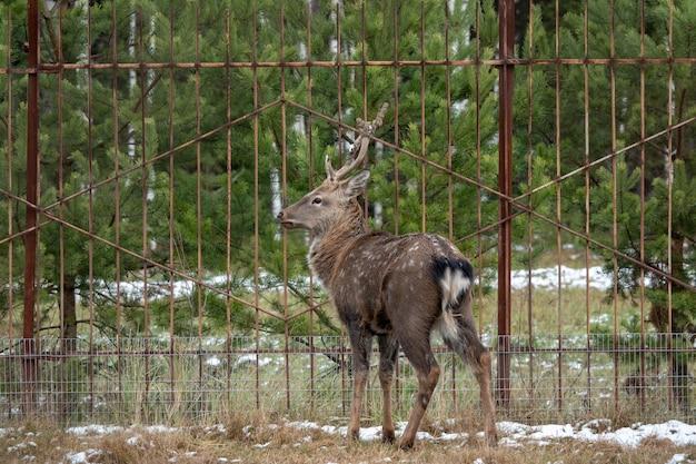 Beautiful red deer on snowy ground