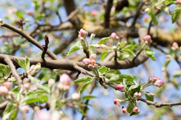 Красивые красные цветы и закрытые бутоны с красными лепестками плодового дерева яблони, крупным планом