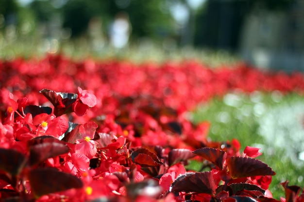 Beautiful red flowers on blurry background