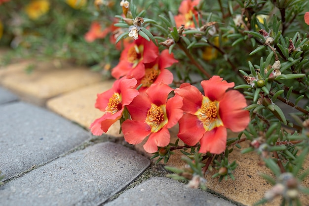 Beautiful red flowers portulaca oleracea in the garden next to the walking path
