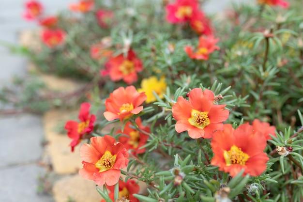 Beautiful red flowers portulaca oleraceae in a garden