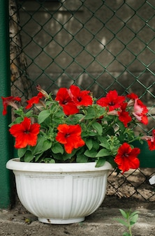 Beautiful red flowers in pot