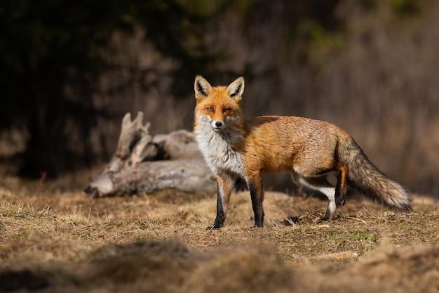 Красивая рыжая лиса позирует на весеннем лугу с мертвыми косулями