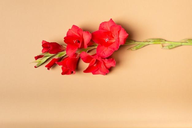 Красивый красный гладиолус на фоне бумаги пастельного бежевого цвета