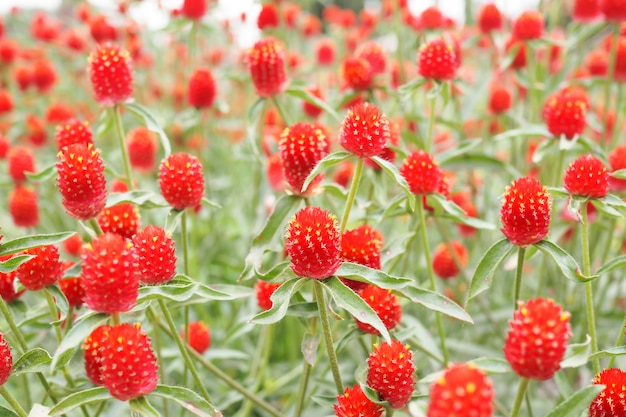 Beautiful red globe amaranth or bachelor button flower in garden  background