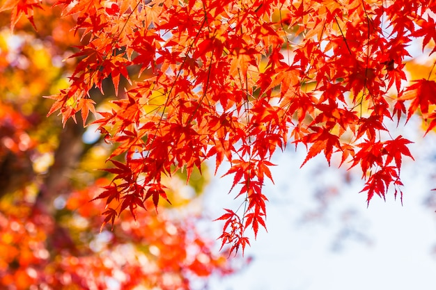 Beautiful red and green maple leaf on tree