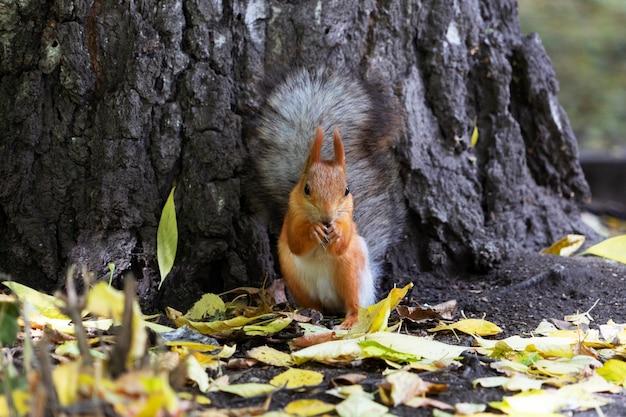 Красивая рыжая белка сидит и ест орехи желтой осенью в лесу.