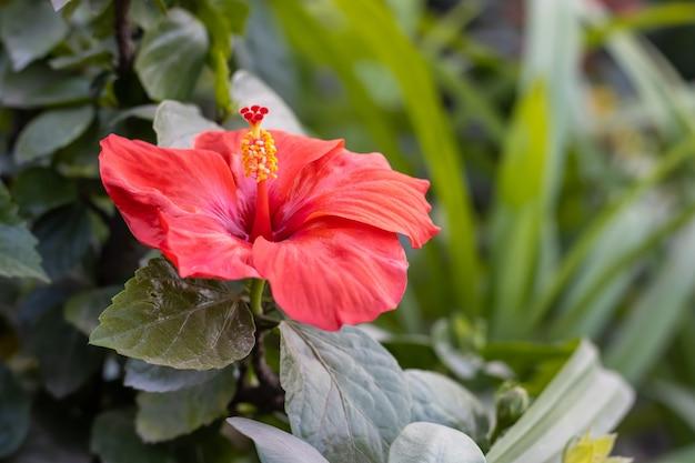 꽃 정원 안에 녹색 잎을 가진 아름 다운 붉은 히비스커스 로사 sinensis 꽃은 총을 닫습니다
