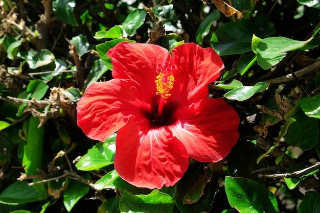 美しい赤いハイビスカス