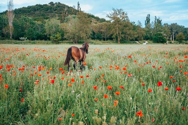 Красивая красная лошадь с длинной черной гривой в весеннем поле с цветами мака. лошадь, пасущаяся на лугу на рассвете. лошадь идет и ест зеленую траву в поле. красивый фон