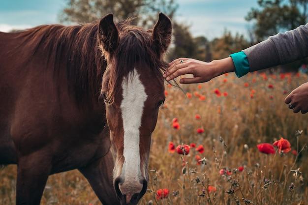 양귀비 꽃과 함께 봄 들판에 긴 검은 갈기가 있는 아름다운 붉은 말. 일출 초원에 방목 하는 말. 말이 들판에서 걷고 있고 푸른 풀을 먹고 있다. 아름다운 배경