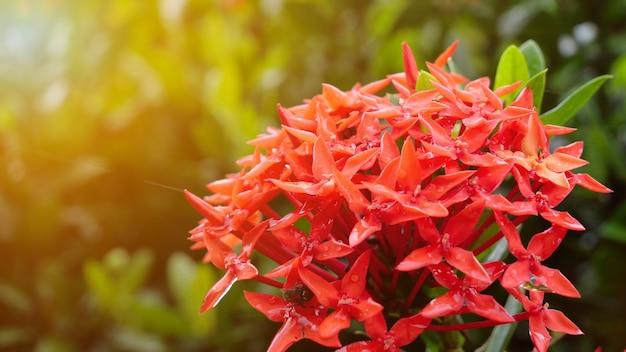 背景に太陽の光がある庭の美しい赤いイクソラ。