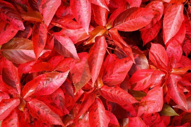 Beautiful red leaves nature background. top view