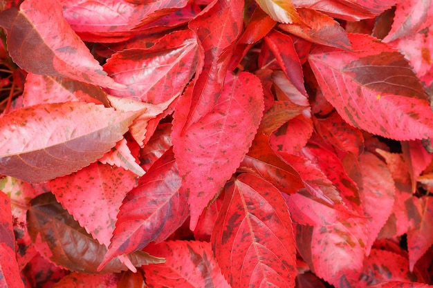 Beautiful red leaves nature texture  background. top view