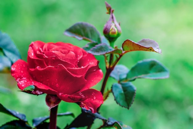 Beautiful red lonely rose in  garden. symbol of passionate love. flowers in  garden. a holiday gift_